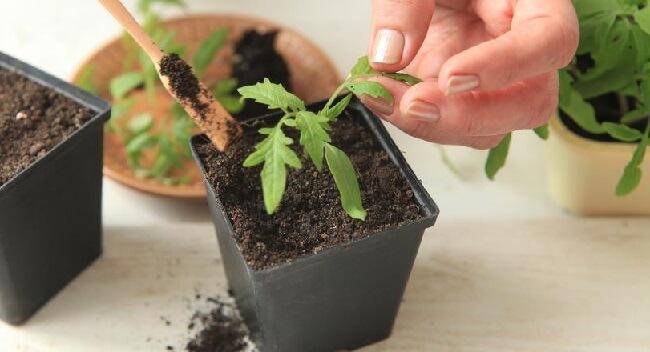 Как правильно посадить рассаду и вырастить хороший урожай
