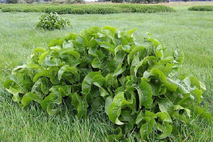 Лечебные свойства листьев хрена избавят  от опасных солевых отложений