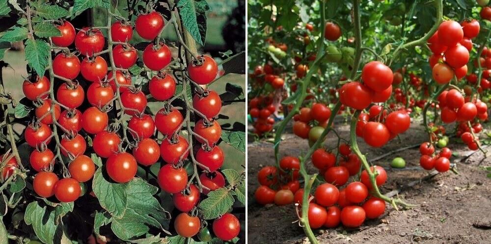 Посадка и выращивание помидор (томатов) в домашних условиях