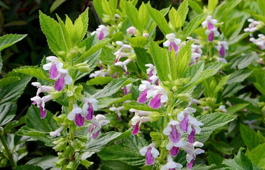 При каких проблемах со здоровьем поможет растение Сарматское кадило