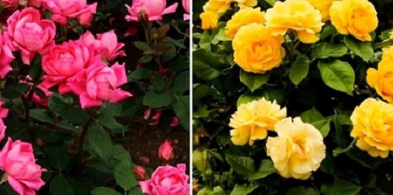 Рецепт омоложения кустов розы