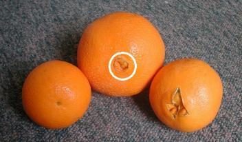 Как правильно выбрать сладкие апельсины