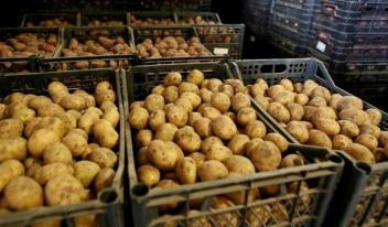 Чем опасен для здоровья, старый картофель