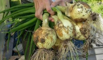 Полезные советы по выращиванию лука, для большого урожая
